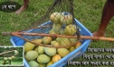 Photo Of Rajshahi Mango, VIP Smart Packeging, Chapai Nawabganj Mango Pack , Rajshahir Aam, Formalin Chemical Free Fozli (01)